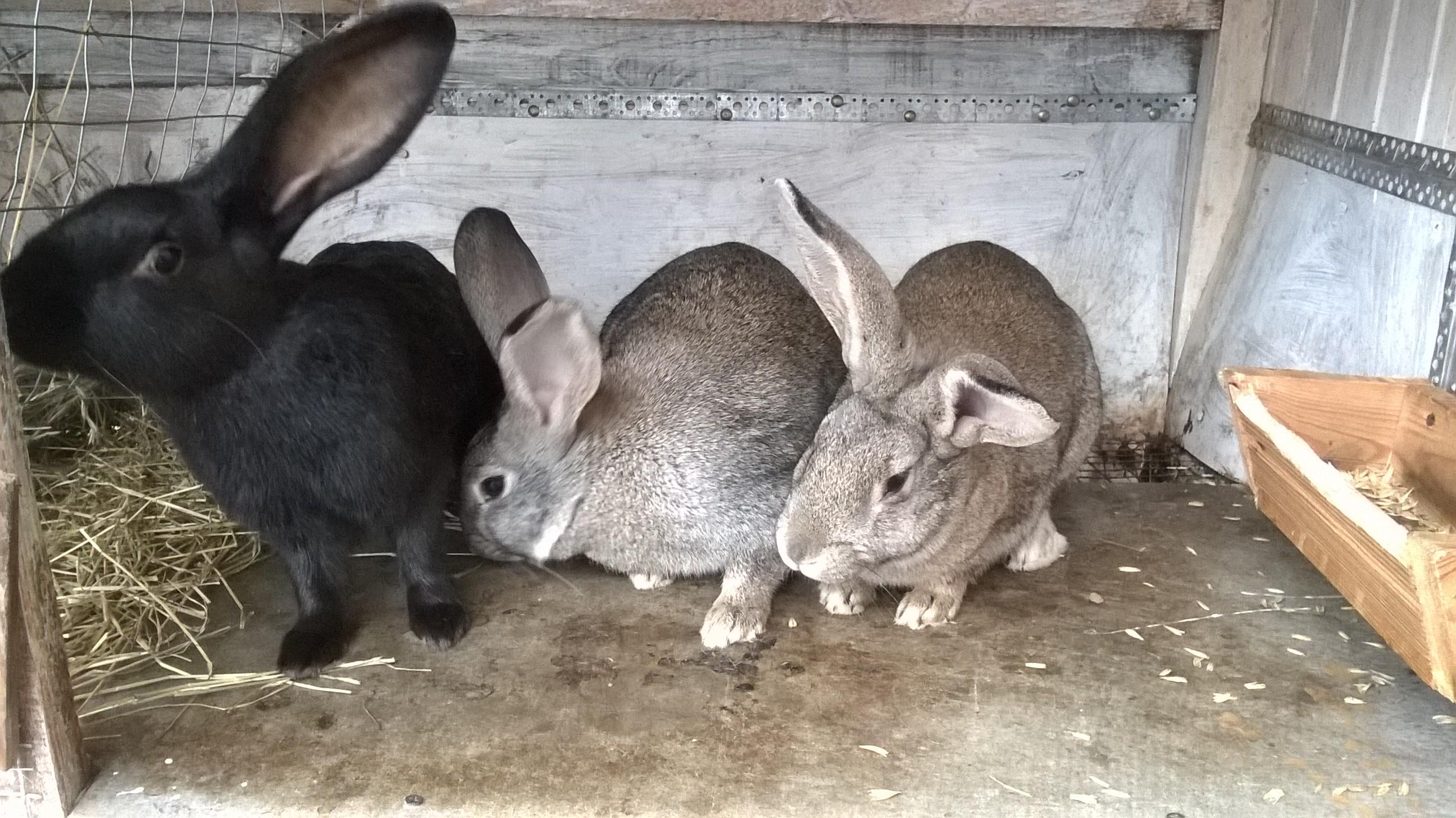 Выгодно ли разводить кроликов?