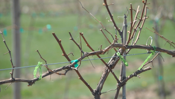 Обработка винограда весной медным купоросом