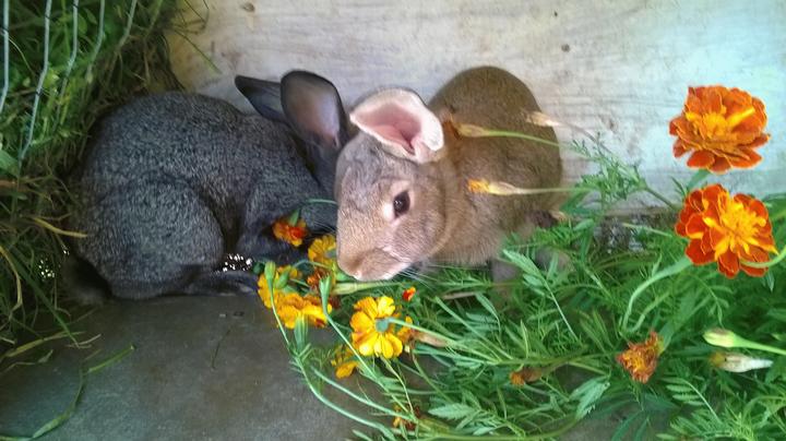 Чорнобривці для кролів