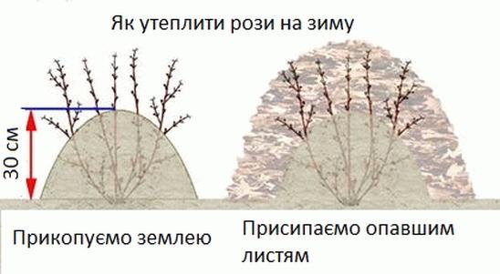 Як утеплити рози на зиму