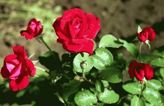 Попелиця на трояндах