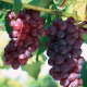 Особенности весеннего ухода за виноградником